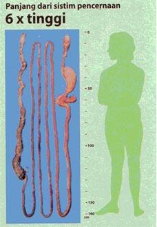 panjang-usus